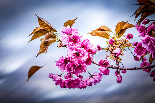 Crabapple Poster featuring the photograph Floating To Earth by Bob Orsillo