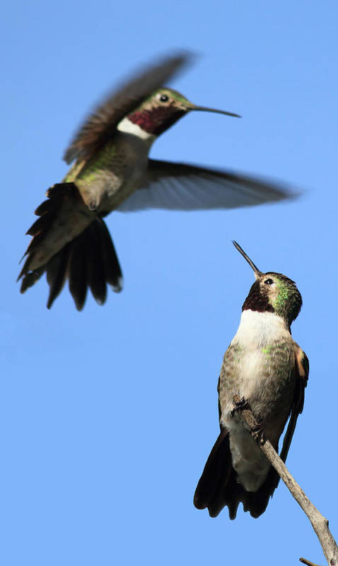 Hummingbird Poster featuring the photograph Fluttering by Shane Bechler