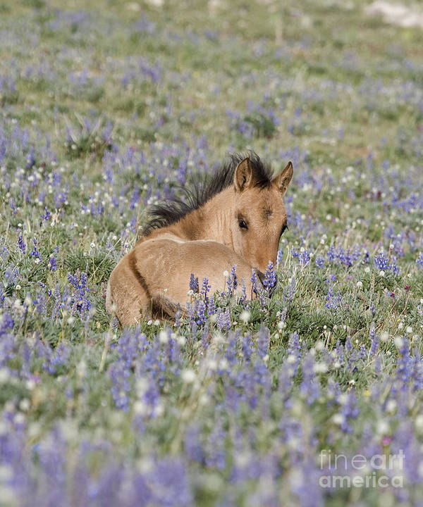 Foal Poster featuring the photograph Foal In The Lupine by Carol Walker