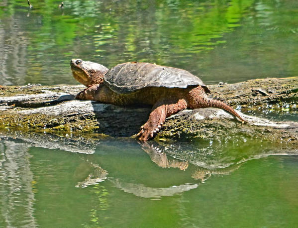 Snapping Turtle Reptile Pond Sun Lounging Nature Shell Water Poster featuring the photograph Fun In The Sun by Karl Barth