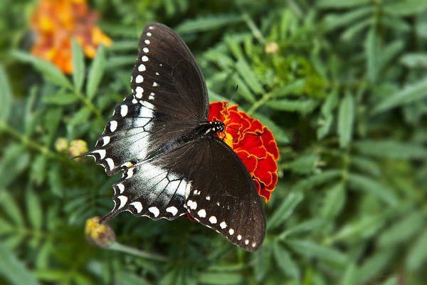 Butterfly Poster featuring the photograph Garden Spice Butterfly by Christina Rollo