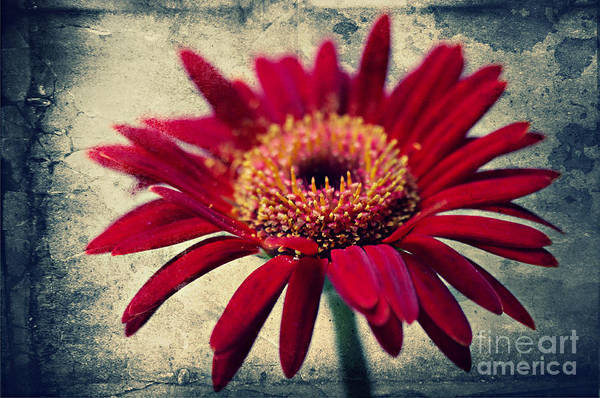 Flowers Poster featuring the photograph Gerbera by Angela Doelling AD DESIGN Photo and PhotoArt