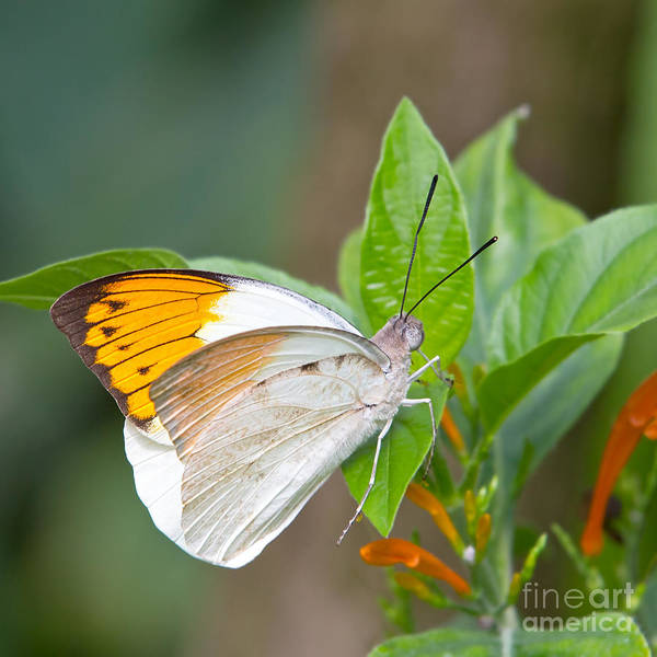 Orange Poster featuring the photograph Giant Orange Tip Butterfly by Jane Rix