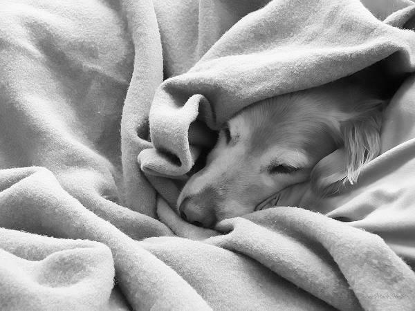 Golden Retriever Poster featuring the photograph Golden Retriever Dog Under The Blanket by Jennie Marie Schell