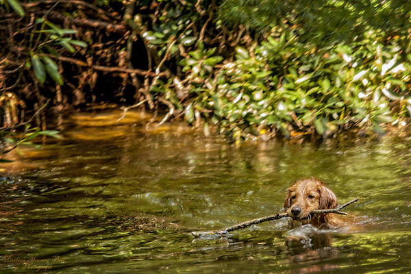 Dog Poster featuring the photograph Golden Retriever Swimming by Darlene Bell