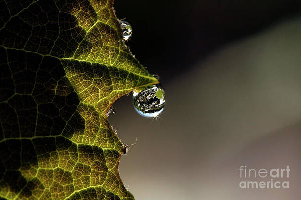 Cindi Ressler Concord Grape Poster featuring the photograph Grape Leaf With Rain Drop by Cindi Ressler