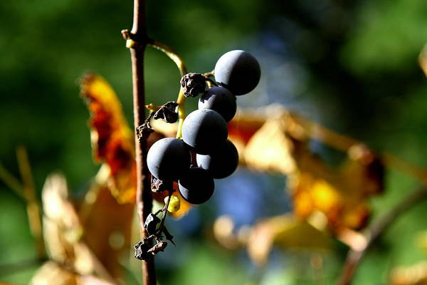 Grape Poster featuring the photograph Grapes On The Vine No.2 by Neal Eslinger