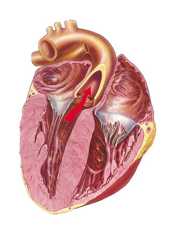 Heart Poster featuring the photograph Heart Anatomy, Artwork by Science Photo Library