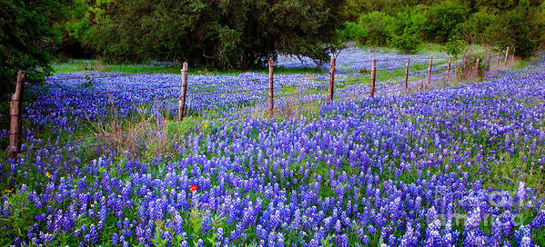 Spring Poster featuring the photograph Hill Country Heaven - Texas Bluebonnets Wildflowers Landscape Fence Flowers by Jon Holiday