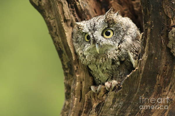 Screech Poster featuring the photograph Hollow Screech- Eastern Screech Owl by Inspired Nature Photography Fine Art Photography