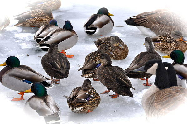 Duck Poster featuring the photograph Ice Walkers by Catherine Renzini