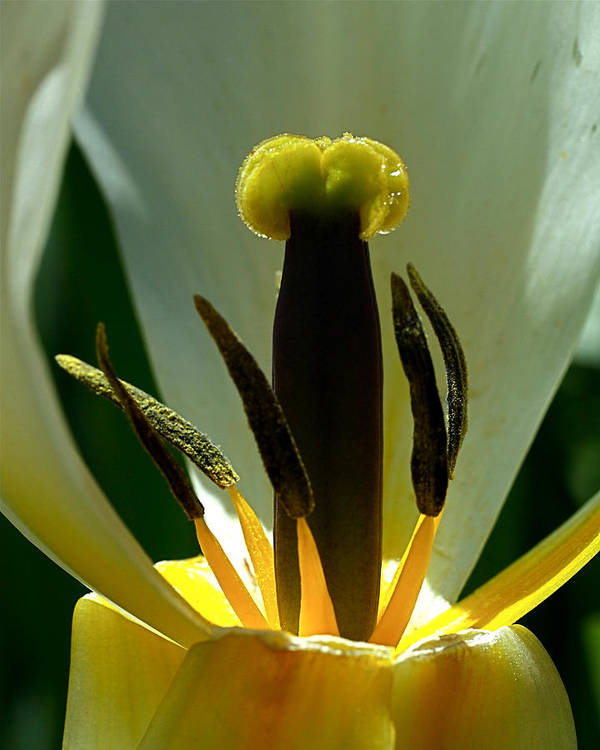 Tulip Poster featuring the photograph Inner Workings by Rona Black