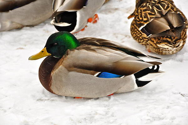 Duck Poster featuring the photograph Just Ducky by Catherine Renzini