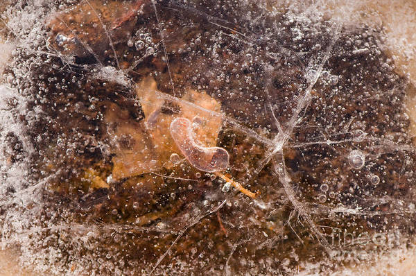Garden Poster featuring the photograph Leaf In Ice by Anne Gilbert