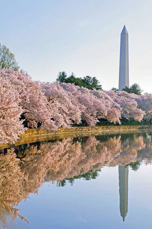 Cherry Blossoms Poster featuring the photograph Liberty by Mitch Cat