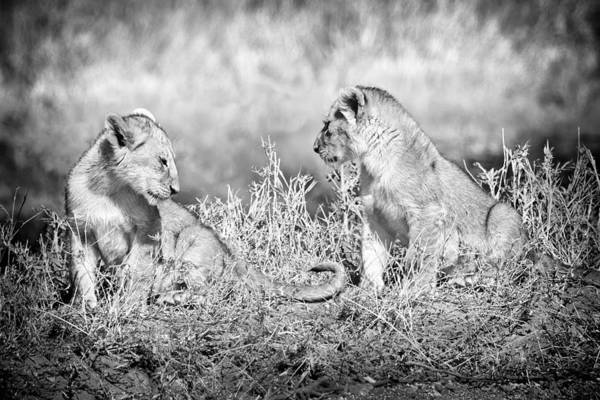 3scape Photos Poster featuring the photograph Little Lion Cub Brothers by Adam Romanowicz