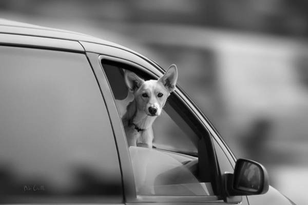 Dog Poster featuring the photograph Mans Best Friend Riding Shotgun by Bob Orsillo
