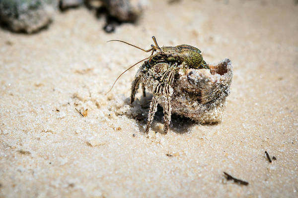 Hermit Crabs Poster featuring the photograph Moving Day by Sennie Pierson