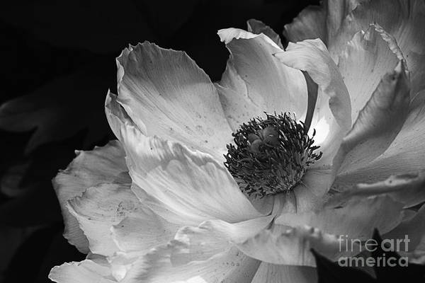 Peony Glory Poster by Terry Rowe