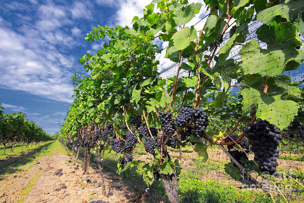 Vineyard Poster featuring the photograph Pinot Noir Grapes In Niagara by Charline Xia