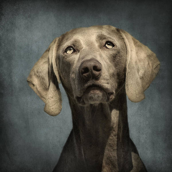 Dog Poster featuring the photograph Portrait Of A Weimaraner Dog by Wolf Shadow Photography