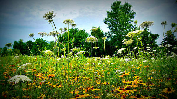 Queen Ann Lace Poster featuring the photograph Queen Annes Lace Of The Butterfly Gardens Of Wisconsin by Carol Toepke