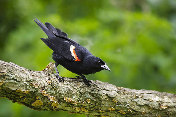 Blackbird Poster featuring the photograph Red-winged Blackbird by Christina Rollo