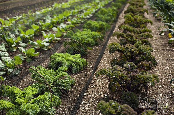 Garden Poster featuring the photograph Rows Of Kale by Anne Gilbert