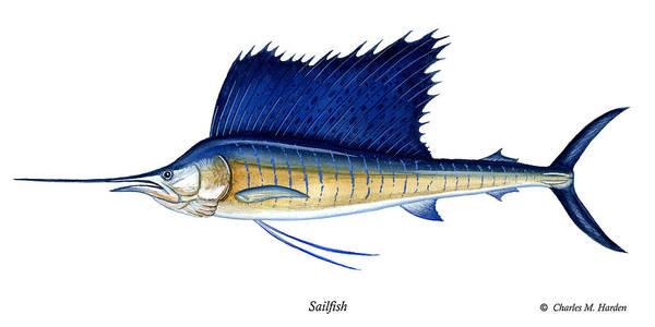Charles Poster featuring the painting Sailfish by Charles Harden