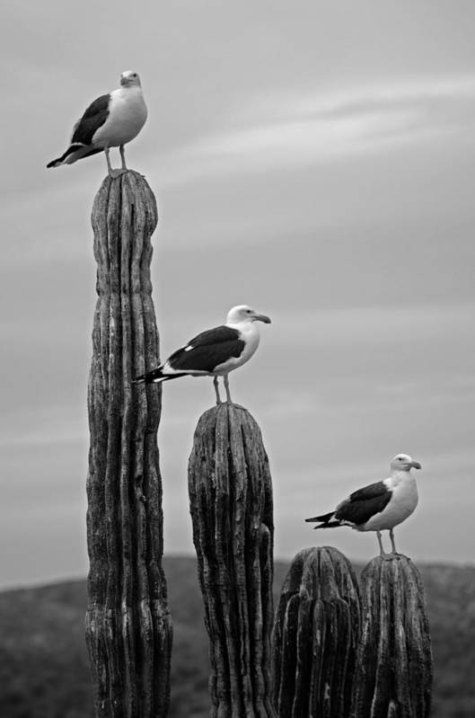 Seagull Poster featuring the photograph Seagull Hierarchy by Camilla Fuchs