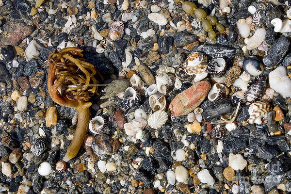 Beach Poster featuring the photograph Seaweed And Shells by Steven Ralser