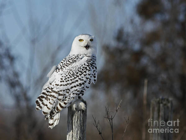 Snowy Poster featuring the photograph Sitting On The Fence- Snowy Owl Perched by Inspired Nature Photography Fine Art Photography