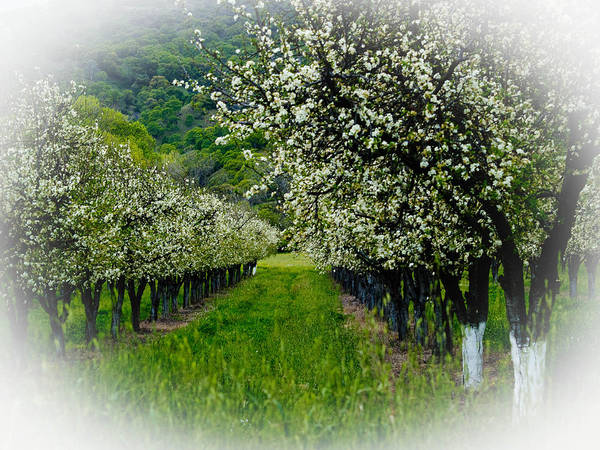 Agriculture Poster featuring the photograph Springtime In The Orchard by Bill Gallagher