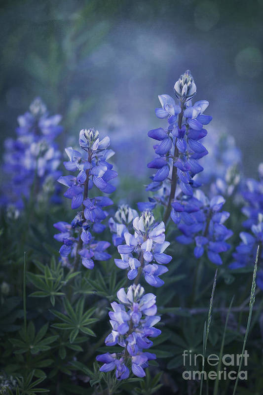 Lupin Poster featuring the photograph Summer Dream by Priska Wettstein