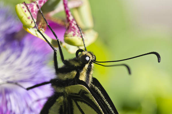 Swallowtail Butterfly Poster featuring the photograph Swallowtail Butterfly by Priya Ghose