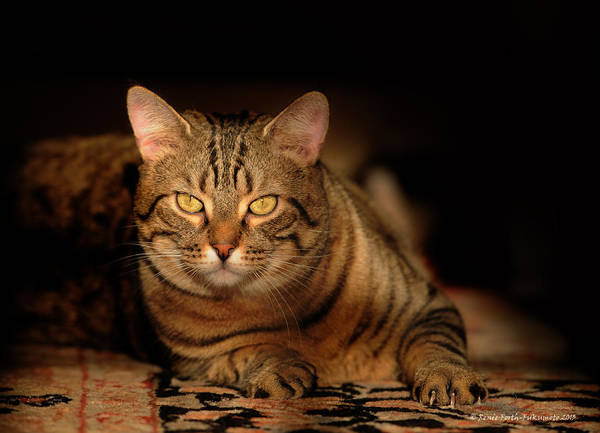 Cat Poster featuring the photograph Tabby Tiger Cat by Renee Forth-Fukumoto