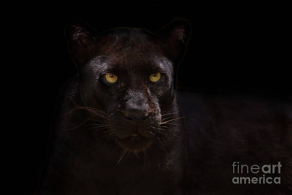 Apex Predator Poster featuring the photograph The Beauty Of Black by Ashley Vincent
