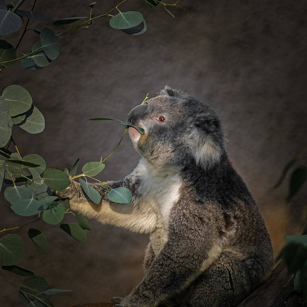 Animals Poster featuring the digital art The Koala by Ernie Echols