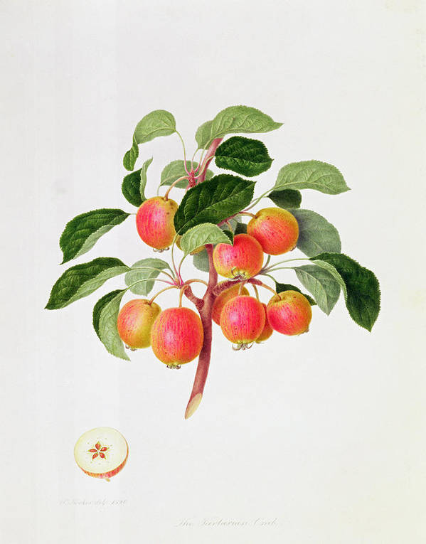 Apples; Fruit; Branch; Cross-section; Leaves; Botanical Illustration Poster featuring the painting The Tartarian Crab Apple by William Hooker