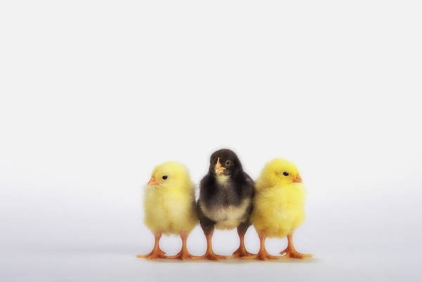 Black Poster featuring the photograph Three Baby Chicks In A Rowbritish by Thomas Kitchin & Victoria Hurst