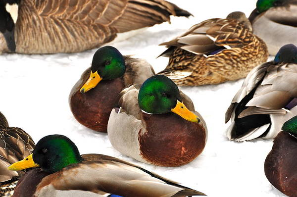 Ducks Poster featuring the photograph Time Out by Catherine Renzini