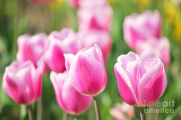 Tulips Poster featuring the photograph Tulip Time by Angela Doelling AD DESIGN Photo and PhotoArt