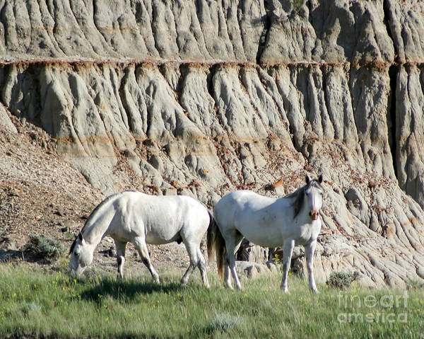 Animal Poster featuring the photograph Two Wild White Stallions by Sabrina L Ryan