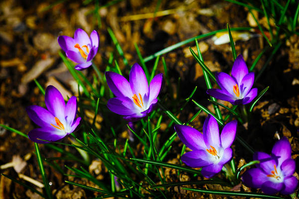 Crocus Poster featuring the photograph Vibrant Crocuses by Karol Livote