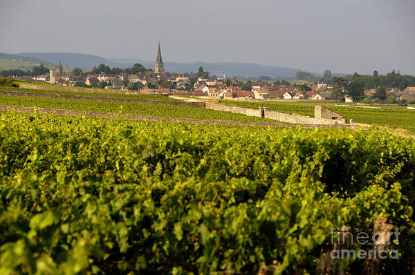 Agricultural  Poster featuring the photograph Vineyard In Front Of The Village Of Meursault. Burgundy Wine Road. Cote D'or.burgundy. France. Europ by Bernard Jaubert