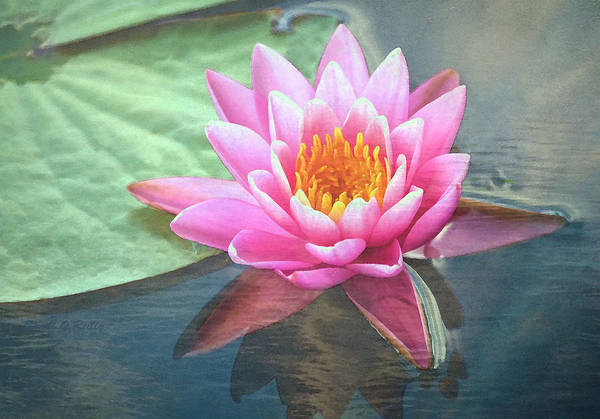 Water Lily Poster featuring the photograph Water Lily by Sandi OReilly