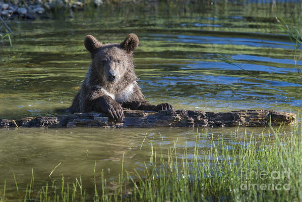 Grizzly;bear;cub;wildlife;nature;ursus;arctos;pond;water;river;fine Art;photography; Stream;behavior;animals;bears;grizzlies;cubs;sandra Bronstein;one;morning;horizontal;wilderness;montana;west;united States;western;iconic;travel;tourism;cute;glacier;national Park;north American Wildlife;animals;canvas Prints;framed Prints;acrylic Prints;metal Prints;cards;controlled Environment Poster featuring the photograph What's Mine Is Mine by Sandra Bronstein