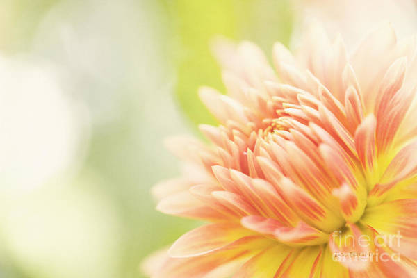 Dahlia Poster featuring the photograph When Summer Dreams by Beve Brown-Clark Photography