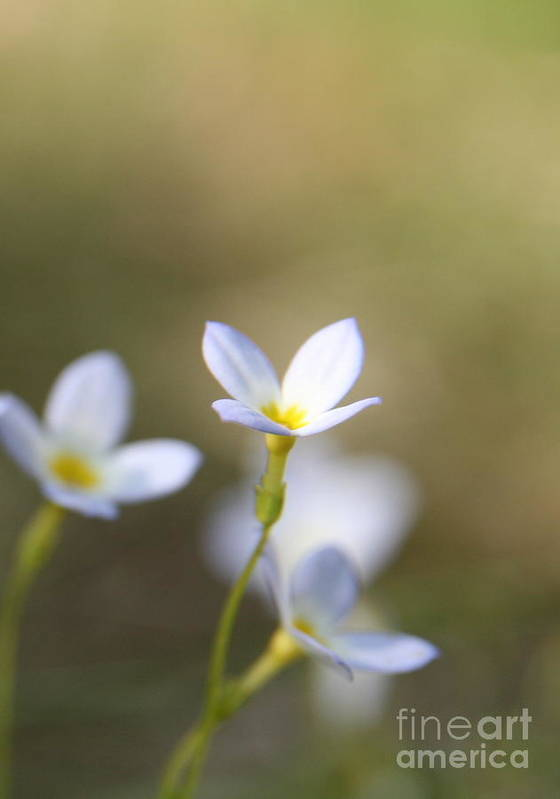 White Flower Poster featuring the photograph White Serenity by Neal Eslinger