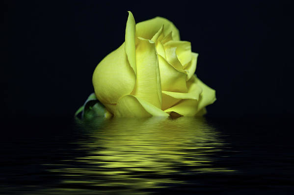 Yellow Rose Poster featuring the photograph Yellow Rose II by Sandy Keeton
